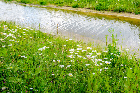 Flowering oxeye daisies and other wild plants at the edge of a stream with a rippling water surface on a sunny day in the spring season in the Netherlands.