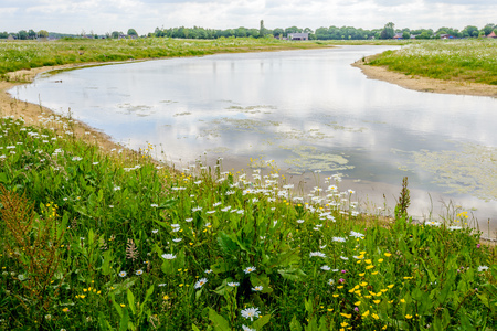 Flowering oxeye daisies, clover, buttercups  and other wild plants at the edge of a curved stream with a reflecting water surface on a sunny day in the spring season in the Netherlands.