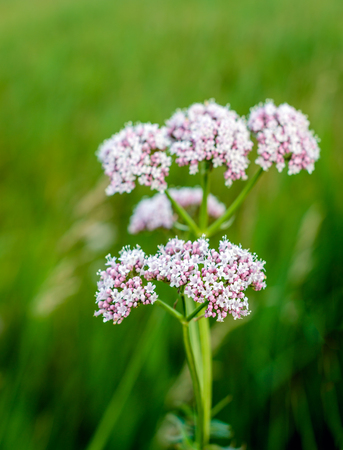 Closeup of a soft pink budding and blooming Valerian or Valeriana officinalis plant against its blurred own habitat on a sunny day in the Dutch early summer season.
