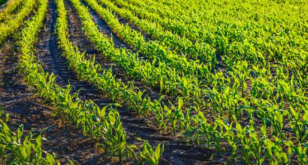 planta de maiz: jóvenes plantas de maíz ensilado verdes frescas en filas curvadas visto en el sol bajo de la tarde. Entre las hileras de plantas rueda pistas de equipos agrícolas son visibles en el suelo.
