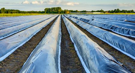 Convergerende asperges bedden bedekt met reflecterende zwarte plastic folie op een zonnige avond in de Nederlandse vroege zomer seizoen. Sommige asperges tops te raken de plastic film al. Stockfoto