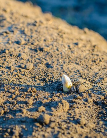 Closeup of the small budding sprout of a white asparagus above the soil of the cultivation bed on a sunny evening in the spring season. The Dutch asparagus season comes to an end.