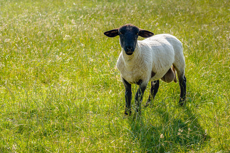 Curiously looking and grass eating freshly shorn Suffolk ram in the meadow on a sunny day in the Dutch summer season. Stock Photo