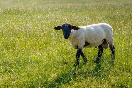 scrotum: Curiously looking and grass eating freshly shorn Suffolk ram in the meadow on a sunny day in the Dutch summer season. Stock Photo