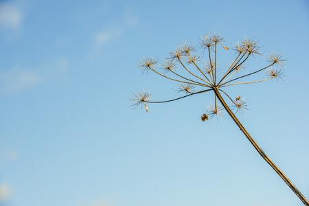 lifecycle: Primer plano de perejil de vaca exagerada y marchita o Anthriscus sylvestris contra un Skyon azul un día soleado en el comienzo de la temporada de invierno holandés. La foto ilustra el ciclo de vida y por lo tanto es adecuado como una decoración en una tarjeta de duelo. Foto de archivo