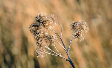 Closeup of brown dried and withered stems and seedheads of the lesser burdock or Arctium minus plant against its blurred natural background. It is in the beginning of the winter season. Stock Photo