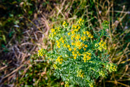 Closeup of a yellow budding and flowering common ragwort or Jacobaea vulgaris plant in birds-eye view. Stock Photo