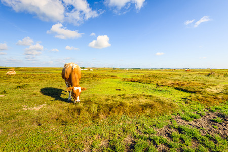 Nature reserve with a grazing brown and white spotted cow in the foreground on a sunny day in the Dutch summer season. Stock Photo