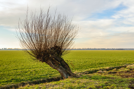 Skew and hollow pollard willow tree in a rural landscape. It is a cloudy day in the Dutch winter season. Stock Photo