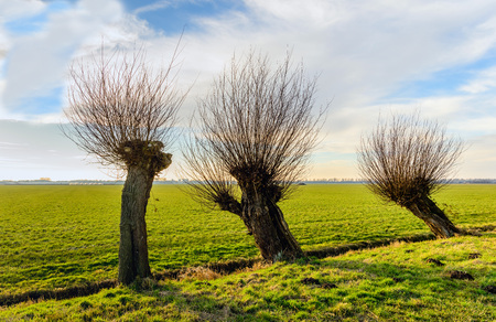 Straight and skew pollard willow trees togehter in a rural landscape. It is a sunny and cloudy day in the Dutch winter season.