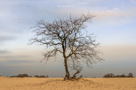 Solitary tree with bare branches on a wide expanse of sand in a Dutch nature reserve at the end of a sunny day in the winter season. Stock Photo
