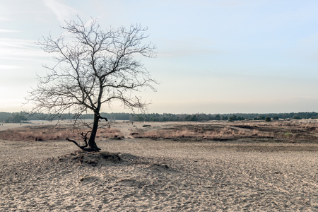 Solitary leafless tree in the dunes of drifting sands in a desert like Dutch national park at the end of the afternoon in the winter season. In the background some people are walking in this nature reserve.