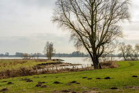 Tall bare tree with irregularly shaped branches on the bank of a wide river in the Netherlands. In the foreground molehills in the grass are visible.