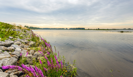 Flowering Purple Loosestrife or Lythrum salicaria plants between the stones of a dike along a flooded area in the Netherlands early in the morning in the summer season. Lizenzfreie Bilder