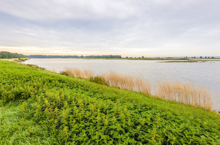 Blooming nettles on the bank of the water in a flooded Dutch nature reserve. Its a cloudy morning in the summer season.