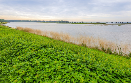 Many nettles bloom on the bank of a wetland area in the Netherlands. Its early in the cloudy morning in the summer season. Lizenzfreie Bilder