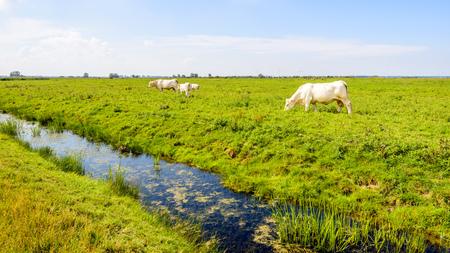 Weiße Kuh-Familie in einem niederländischen Naturschutzgebiet an einem sonnigen Tag in der Sommersaison weiden lassen. Lizenzfreie Bilder