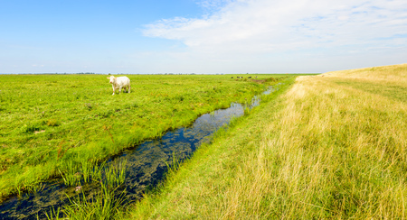 White cow curiously looking in a nature reserve in the Netherlands on a sunny day in the summer season. Lizenzfreie Bilder