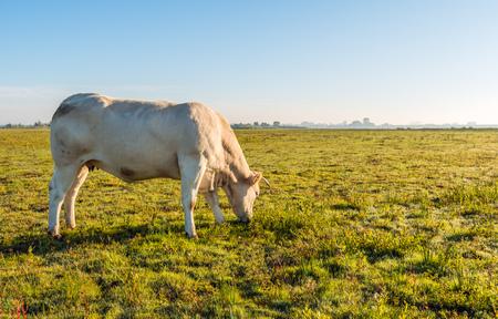 Bacliut Bild eines jungen Crémefarben Kuh ruhig in einer flachen niederländischen Naturgebiet in den frühen Moring von einem sonnigen Tag in der Herbst-Saison weiden lassen. Lizenzfreie Bilder