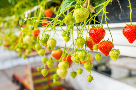 Closeup of ztrawberry plants with white blossom  and ripening,  strawberries in a modern Dutch greenhouse.