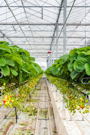 Ripening hydroponic grown strawberries on the plants in a large and modern specialized horticultural company.