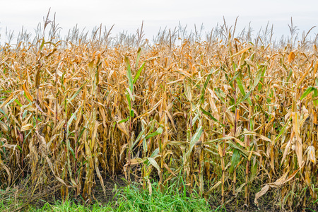 Drying forage maize plants at the edge of a large field. Its almost fall and the plants will be harvested soon.