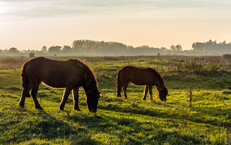 Backlit image of two brown colored Icelandic horses at the end of a sunny day in the fall season. Lizenzfreie Bilder