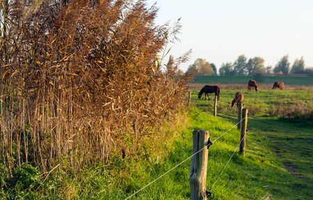 Light brown reeds in the late afternoon sun. In the background horses are peacefully grazing. Lizenzfreie Bilder