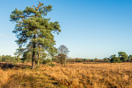 Scots pine tree in a Dutch nature reserve in autumnal colors.