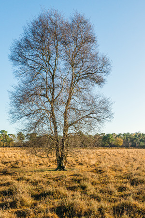 Solitary bare tree in a nature reserve in the Netherland. It is autumn now and the grass is yellowed.