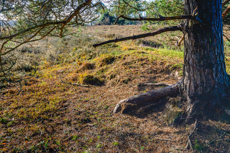 At the floor of the forest under the scots pine tree at the end of a sunny day in the fall season.