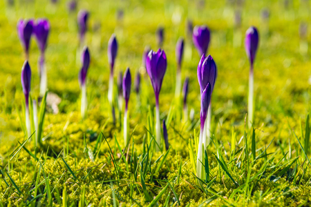 Closeup of budding Purple crocuses between blades of grass. Spring is coming soon now.