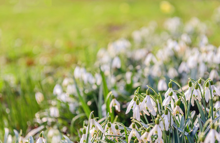 Closeup of white blossoming common snowdrop or Galanthus nivalis plants growing from bulbs. Springtime is coming soon now.