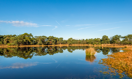 scots pine: Scots pine trees and bulrush plants reflecting in the mirror-smooth surface of a fen in a Dutch nature on a sunny day in the fall season. Stock Photo