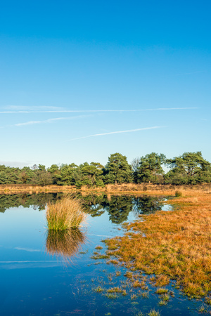 Scots pine trees and bulrush plants reflecting in the mirror-smooth surface of a fen in a Dutch nature on a sunny day in the fall season. Lizenzfreie Bilder