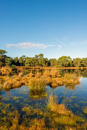 Group of clumps of bulrush plants reflecting in the mirror-smooth surface of a fen in a Dutch nature on a sunny day in the fall season. Lizenzfreie Bilder
