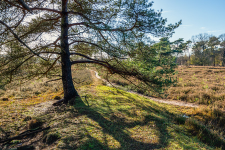 Backlit image of a scots pine tree in a nature reserve with a narrow meandering sand path. Stock Photo