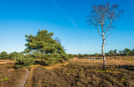 Silver birch tree in the foreground of a nature reserve in the fall season. In the background are some scots pine trees.