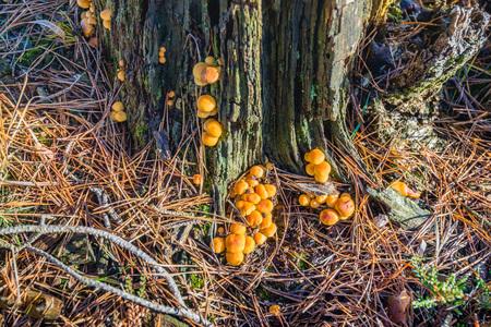 Closeup of spherical orange mushrooms on the bark of a dying pine tree. Lizenzfreie Bilder