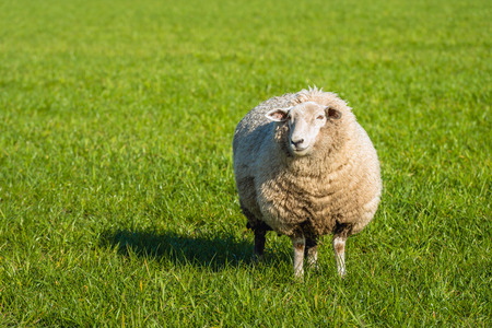 新鮮な緑の芝生に立っていると、春のシーズンの初めに晴れた日に写真を見て厚い冬のコートで妊娠中の羊。 写真素材