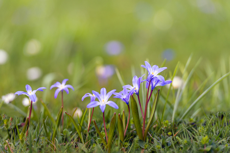 Blooming lesser glory-of-the-snow or Chionodoxa sardensis bulbs in the Dutch early spring season.
