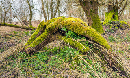 Dead fallen tree covered with moss. It is spring and around the tree and the dry twigs grow fresh green nettles. Stock Photo