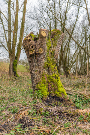Trunk of a just pruned willow tree overgrown with green moss. It is in the beginning of te spring season.