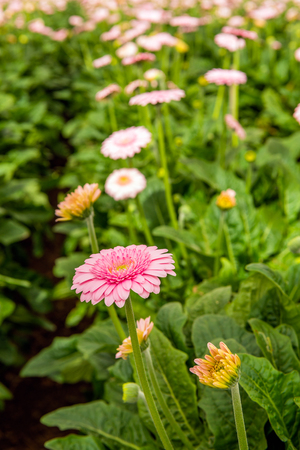 Closeup of a mature pink Gerbera flower between some budding other flowers in the glasshouse of  a specialized Dutch Gerbera cut flower nursery. Stock Photo