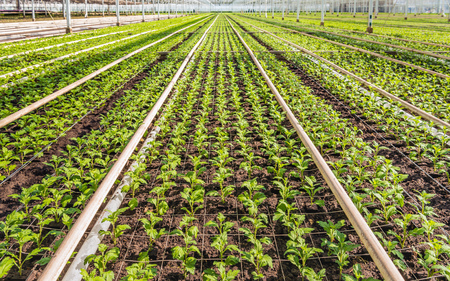 Lots of small chrysanthemum cuttings in the greenhouse of a specialized Dutch chrysanthemum cut flower nursery. Stock Photo