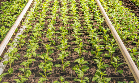 cuttings: Lots of small chrysanthemum cuttings in the greenhouse of a specialized Dutch chrysanthemum cut flower nursery. Stock Photo
