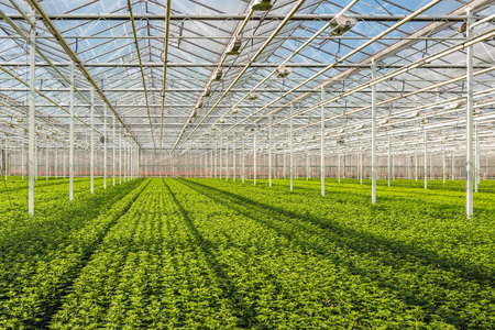 Long rows with lots of small chrysanthemum cuttings in the greenhouse of a specialized Dutch chrysanthemum cut flower nursery. Stock Photo