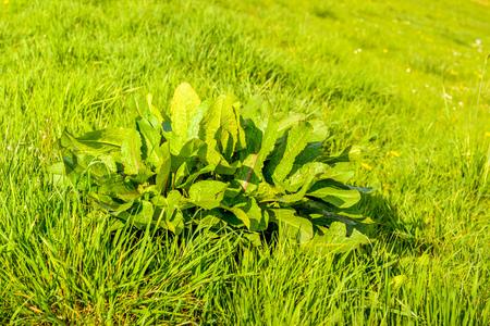 Frische grüne breitblättrige Dock- oder Rumex-obtusifolius-Anlagen zwischen den Grashalmen, die an der Steigung eines niederländischen Graben an einer sonnigen Jahreszeit des Tages im Frühjahr wachsen.