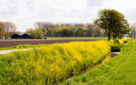 Dutch landscape with yellow flowering rapeseed on a cloudy day in the spring season Stock Photo