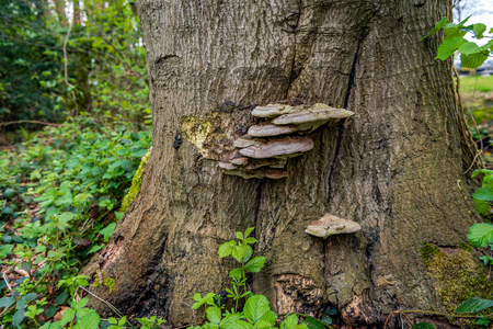 duramen: Bear bread or Ganoderma applanatum fungus on the bark of a big tree. It is a wood-decay fungus, causing a rot of heartwood in a variety of trees.